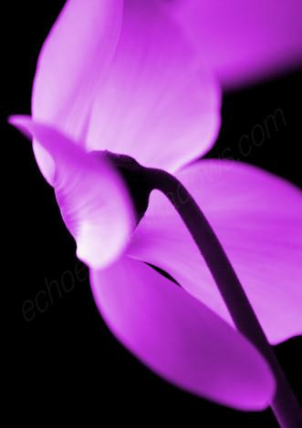 Purple Cyclamen 2
