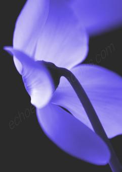 Electric Blue Cyclamen 2