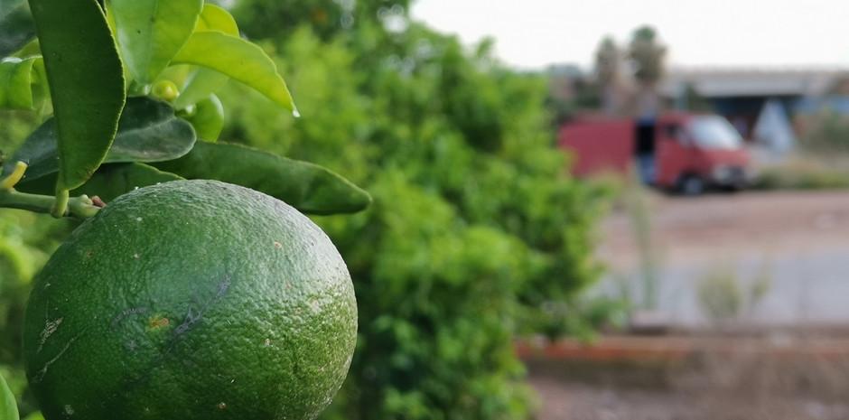 oranges, avant la saison des cueillettes