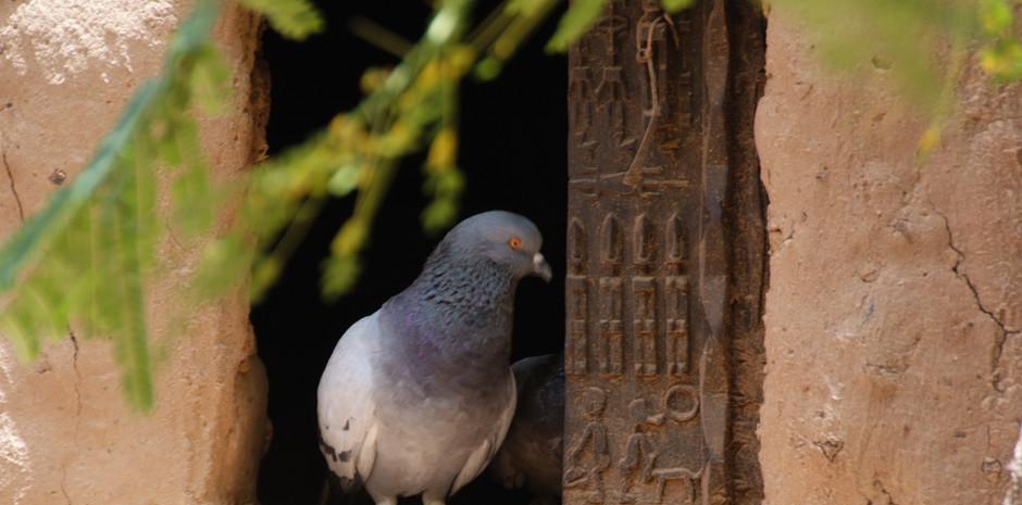 pigeon au pays Dogon