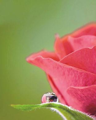 Rožių aliejus.jpg