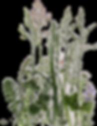 kisspng-english-lavender-plant-flower-fl