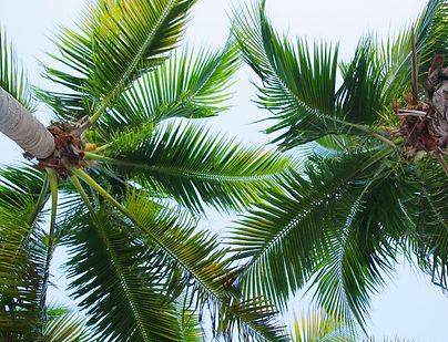 Coconut palm trees Sep 2020.jpg