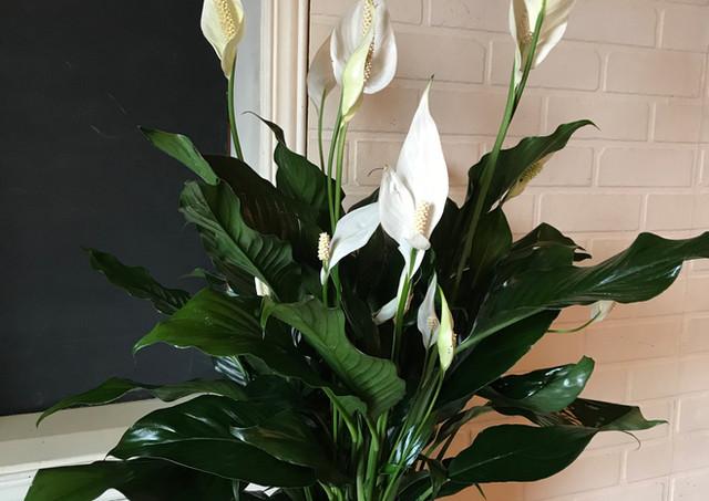 """Spathiphyllum """" Lys de paix """""""