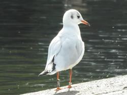 colour ring gull