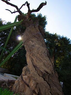 Oak of Mamre
