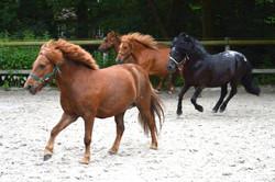 Ecuries des Eiders - nos poneys