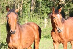 Ecuries des Eiders - chevaux