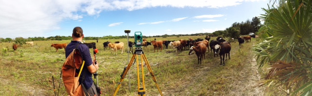 Cattle on survey site