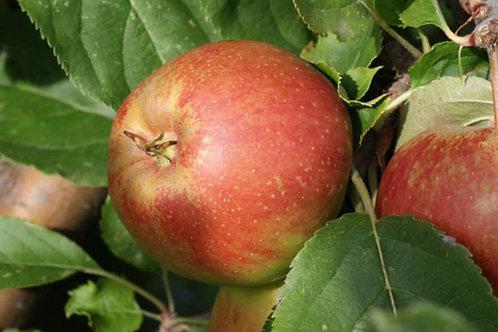 pommes belle de boskoop x 3kg