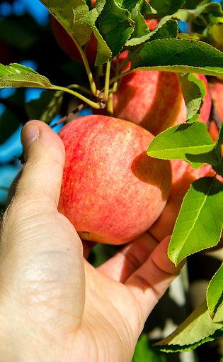 pommes gala x 1kg