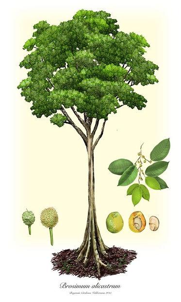 Ilustración del árbol del guáimaro