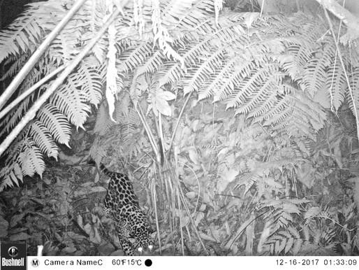 El jaguar de la Sierra Nevada del Caribe