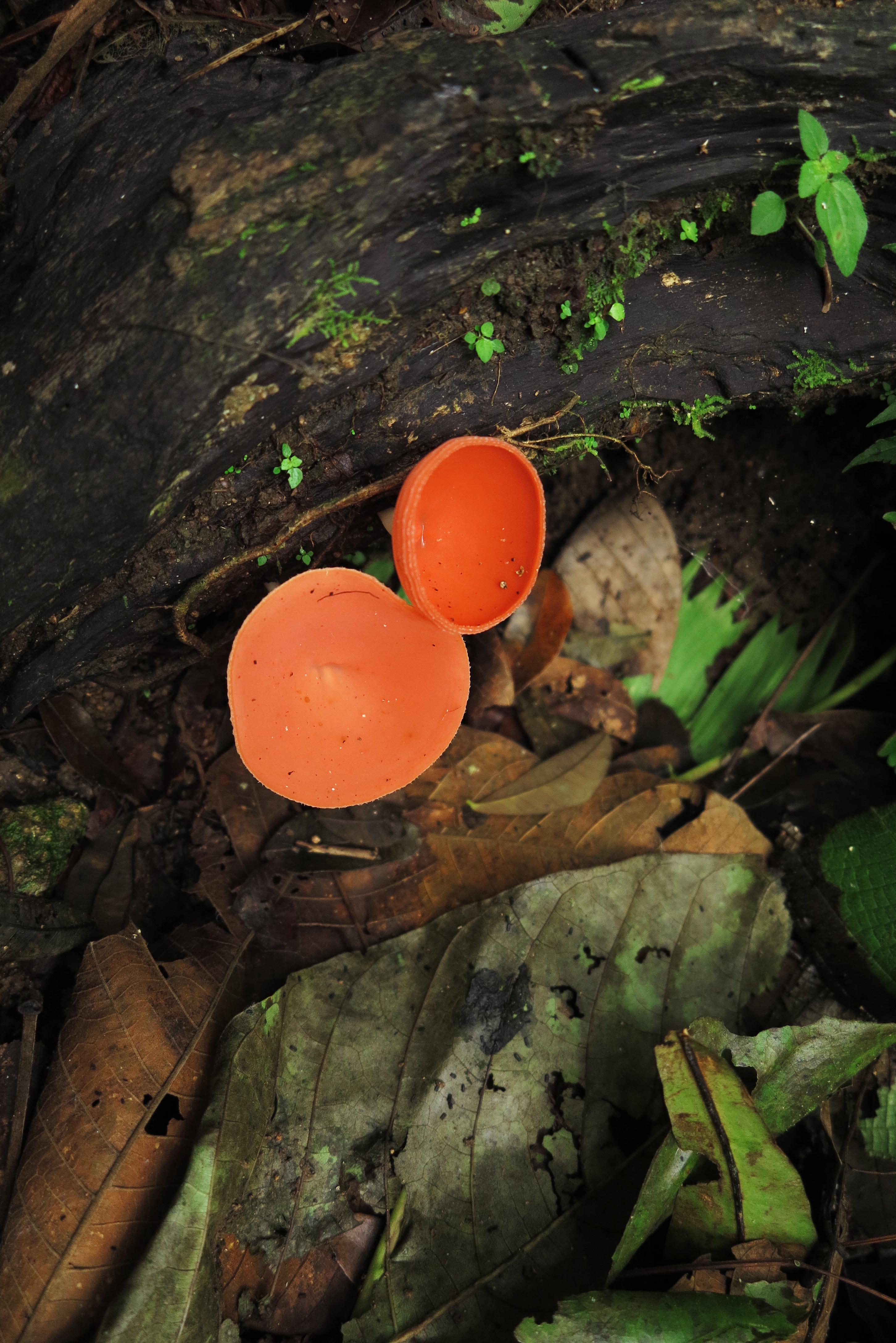 Fungis