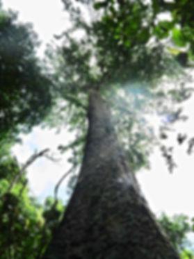 Árbol de guáimaro