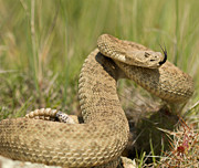 How to Protect your Pets and Prairie Rattlesnakes