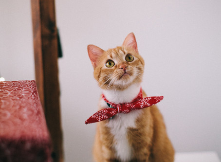 Козината на котките – проблеми и поддръжка