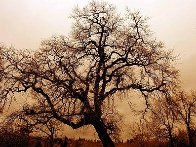 gnarled-old-oak-.jpg