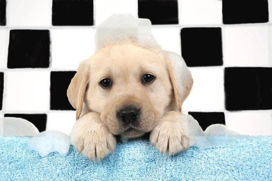 1-labrador-puppy-in-bath-john-daniels_ed