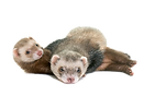 ferrets-animal_87557-5884_edited.png