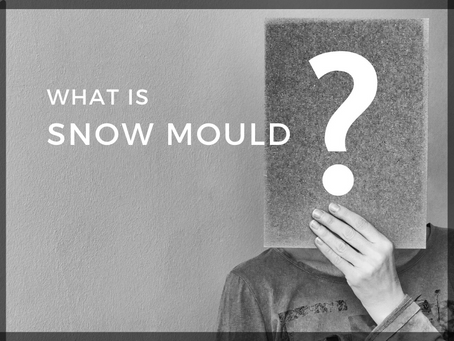 Snow Mould: What you need to know
