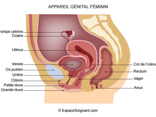Les 4 éléments de l'anatomie féminine