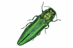 figure-emerald-ash-borer-1.jpg