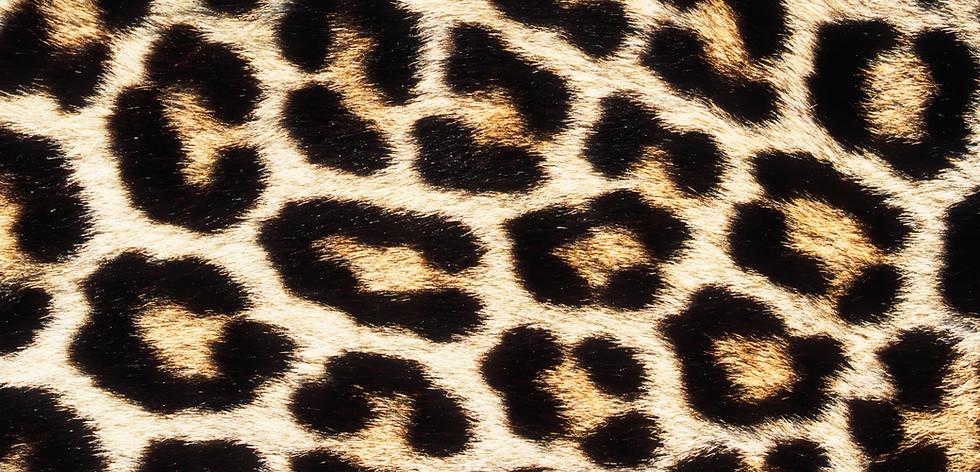 leopard 1.png