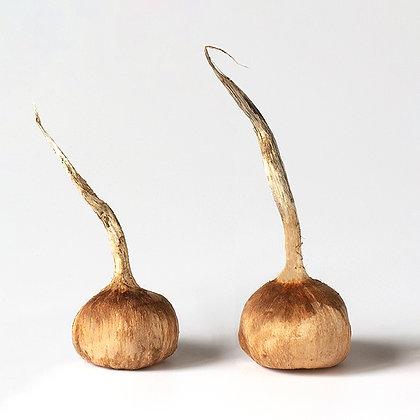 Bulbes de crocus sativus calibres 10/11
