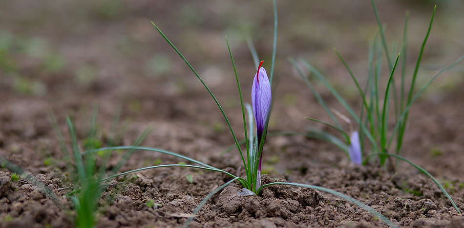 eclosion-fleur-safran-2.jpg