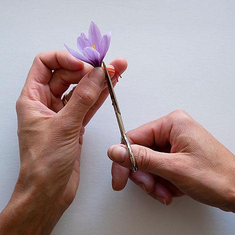 emondage-fleur-safran.jpg