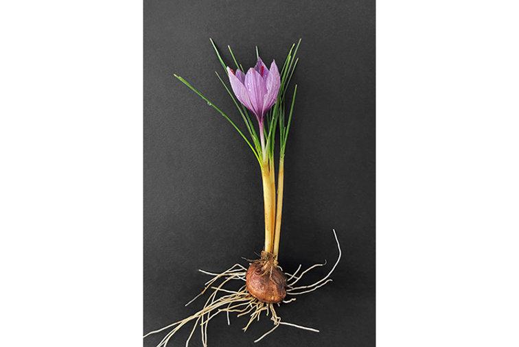 bulbe-crocus-sativus-fleur-safran.jpg