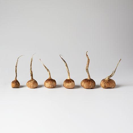 bulbes-de-crocus-sativus-calibres-de-8-a