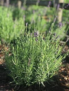 herbs 2.jpg