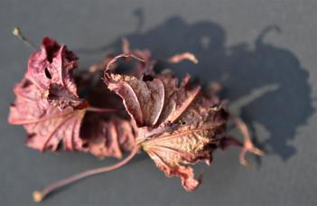 Splilt Leaf Red Maple Leaves