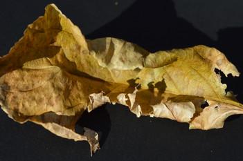 Recumbent Leaf