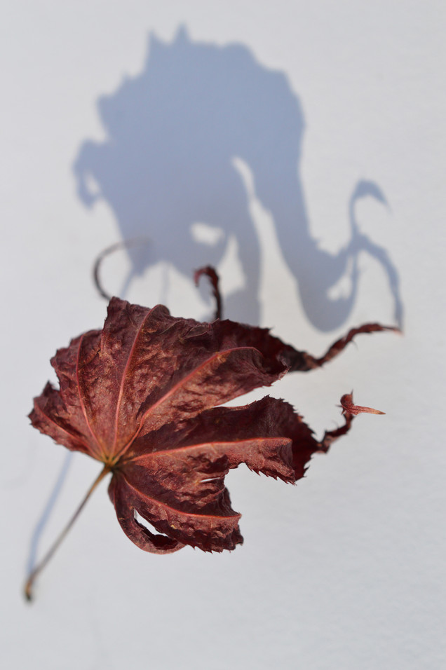 Leaf and Shadow