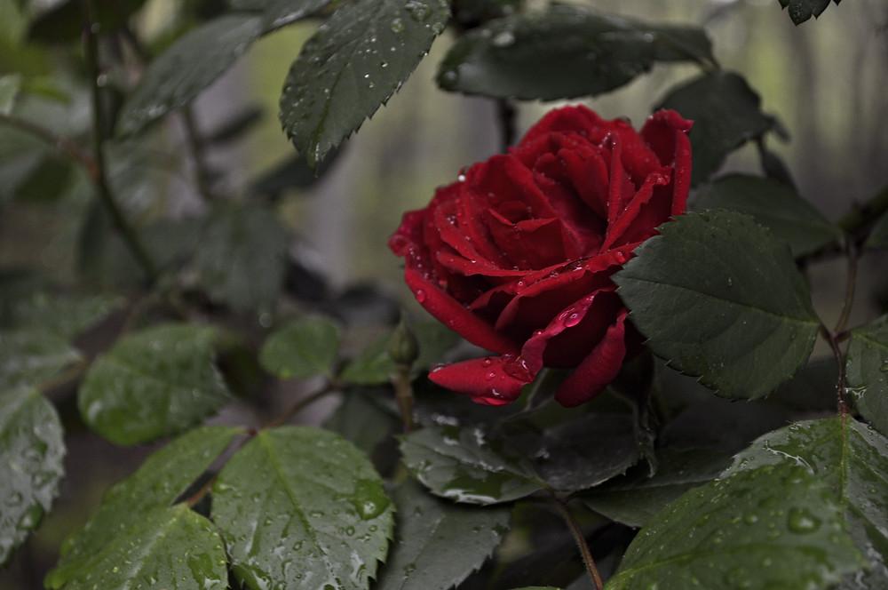 A rose in the rain...
