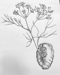 Fennel/Spleen