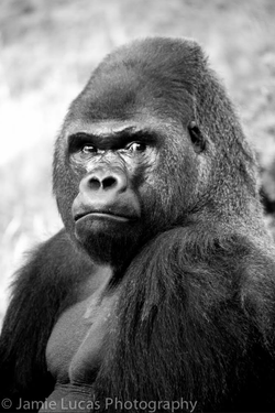 Western Lowerland Gorilla