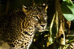 Sri-Lankan Leopard