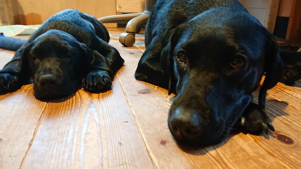 黒ラブ子犬とお父さん