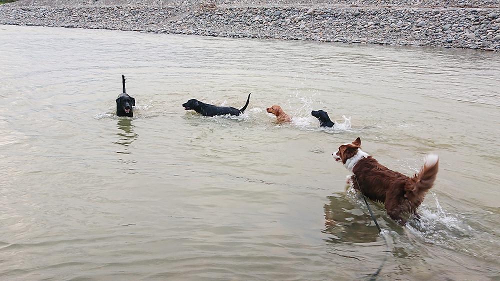 水遊びするラブラドールとボーダーコリー