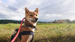 散歩の練習もばっちりの柴犬