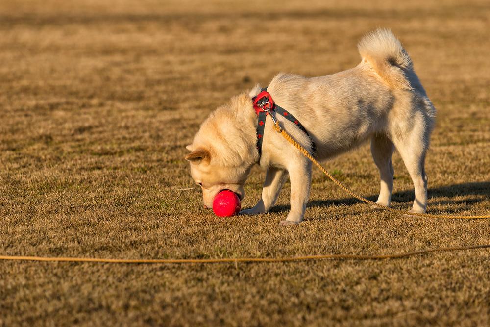 ボール遊びしてる北海道犬