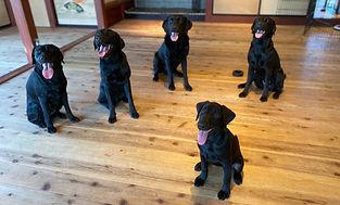 5匹のラブラドール、黒ラブ、スカイラボの犬