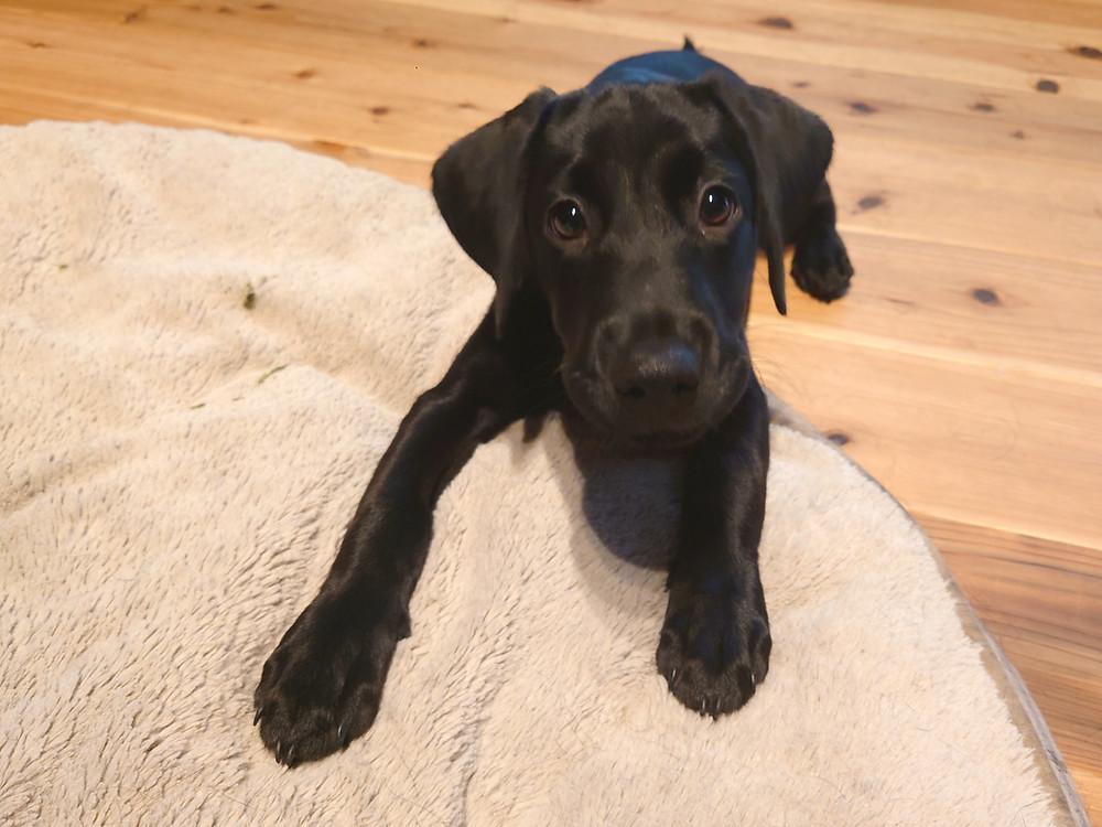 ラブラドール子犬、黒ラブパピー、黒ラブ、ラブラドールパピー、大型犬の居る暮らし