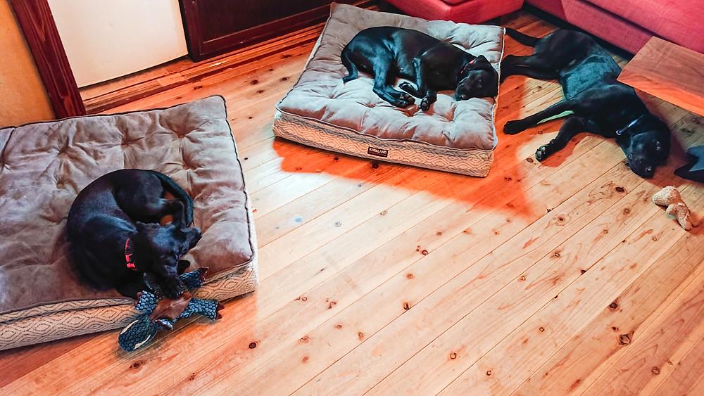 ラブラドール3匹が部屋寝てる