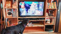 テレビを見るチョコラブ