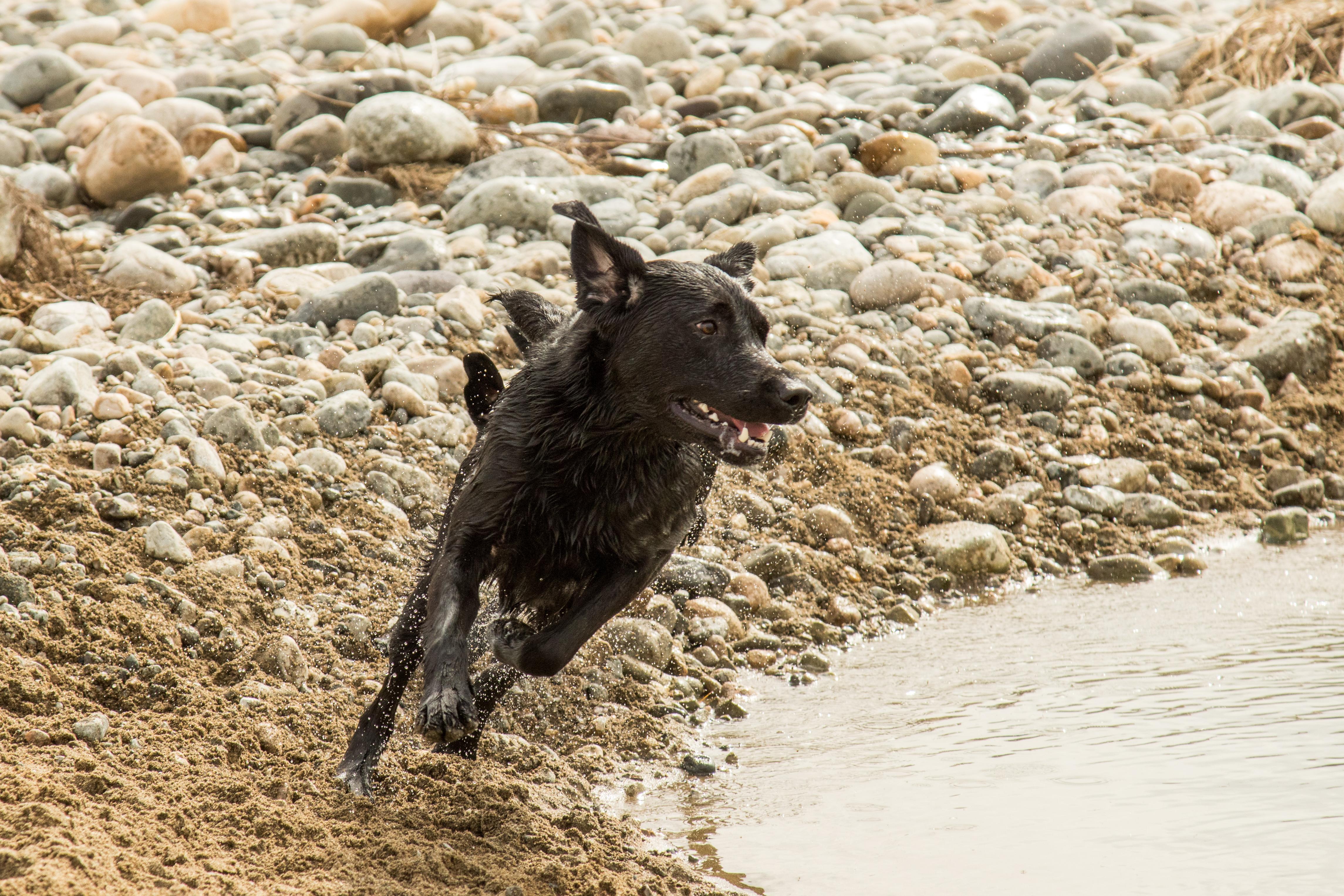 川で走る黒ラブラドール
